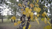 outono : birch tree yellow foliage by early autumn in forest