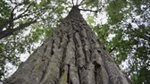rachado : closeup of powerful tree bark, camera moving up along trunk