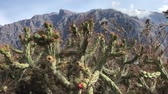 needle : many blossom cactus plants with Peruvian mountains behind, sliding footage
