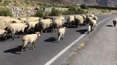 schaf : a flock of sheep walking along the road Stock Footage