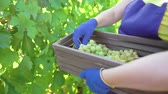 vinhedos : caucasian female in blue apron and gardening gloves harvesting grapes in vineyard. Woman working in garden. Gardening, leisure, hobby, agriculture, work, safety concept