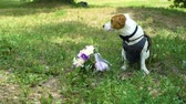 farfallino : jack russell terrier wearing bowtie and vest near wedding bouquet in slow motion
