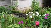 flower bed : grey cat caught pigeon and drags it in teeth among flowers in garden