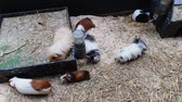 domestique : guinea pigs of different breeds and colors on sawdust layer in terrarium Vidéos Libres De Droits
