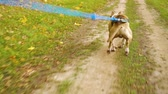 testicles : American Staffordshire terrier in harness canicrossing with owner in autumn park