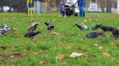 koets : Pigeons pecking green grass in city park