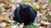 micio : Black cat in autumn leaves outside Filmati Stock