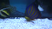 анемон : Blue ring angelfish of the family Pomacanthidae. Beautifully decorated Marine Aquarium.