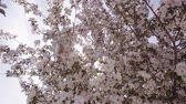crab apple : Sun rays make their way through the branches of apple trees with pink flowers. Stock Footage