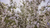 floral : Sun rays make their way through the branches of apple trees with white flowers.