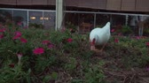 cackle : White duck walks around the flower bed and a little girl hands her a bouquet stock footage video