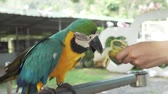 amerika papağanı : Colorful Red-blue-green Scarlet Macaw parrot (lat. Ara) eats a banana stock footage video Stok Video