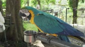 amerika papağanı : Colorful Red-blue-green Scarlet Macaw parrot (lat. Ara) eats from the trough stock footage video Stok Video