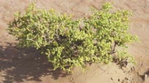 esfregar : Small watery grassy bush in the Rub al Khali desert stock footage video Stock Footage