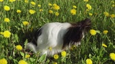 puppy eyes : Beautiful dog Papillon sitting on a green lawn with dandelions and eating grass stock footage video Stock Footage
