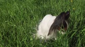 pohlednice : Beautiful dog Papillon sitting on a green lawn and eating grass stock footage video