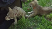 необычный : Beautiful amusing puppies of Saarloos wolfhound playing on a green lawn in the park stock footage video