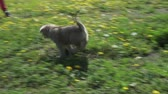 vigilante : Beautiful amusing puppies of Saarloos wolfhound playing on a green lawn in the park stock footage video