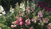 malmequer : Multicolored Antirrhinum grows in the garden stock footage video