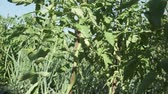 horticultura : Fruits of a tomato ripen on high bushes stock footage video