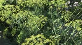 fennel : Green fennel ripens on the garden bed stock footage video Stock Footage