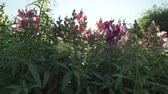 carmesim : Multicolored Antirrhinum grows in the garden stock footage video