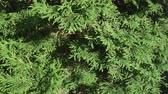 cedro : Beautiful green tree branches Thuja stock footage video