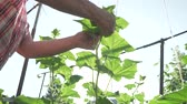 ranken : An elderly woman cares for plants in the garden, ties up high branches of cucumbers tomato stock footage video
