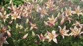 Лилли : Beautiful garden lilies (Lilium) are poured over with water in the garden stock footage video