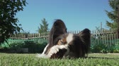 ficando : Beautiful dog breed Papillon gnaws spruce cone on the lawn stock footage video