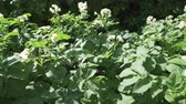 haulm : High potato bushes with flowers grow in the garden stock footage video Stock Footage
