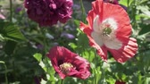 ポピー : Bee collects the nectar on the garden poppy stock footage video 動画素材