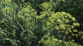 koperek : Green fennel ripens on the garden bed stock footage video Wideo