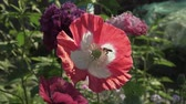 opylení : Bee collects the nectar on the garden poppy stock footage video Dostupné videozáznamy