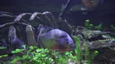 экспонат : Piranhas are floating in a freshwater aquarium stock footage video
