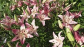 Лилли : Beautiful garden lilies (Lilium) grow in the garden stock footage video Стоковые видеозаписи