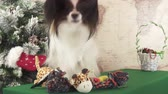 engedelmes : Papillon dog with soft toys near the Christmas tree stock footage video