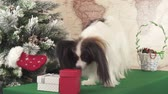 engedelmes : Papillon dog is looking for his gift near the Christmas tree stock footage video Stock mozgókép