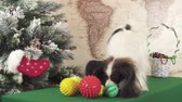 Papillon dog is playing with balls and rings near the Christmas tree stock footage video