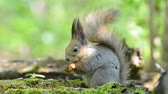 nibbling : Grey squirrel eating food from its paws in the forest
