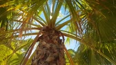 palm branches against the azure sky in the Mediterranean. Camera movement