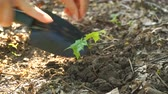 bud : Planting, Seeding, Seedling, Close up female and kid hands planting young tree over green background Stock Footage