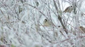 ornitoloji : a flock of sparrows in the bushes in the winter