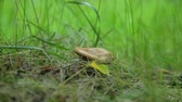 поганка : Mushroom in the forest grass Стоковые видеозаписи