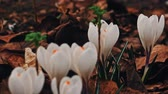 szafran : crocuses flowers in springtime