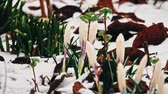 przebiśniegi : Falling snow over crocus flowers in early spring Wideo