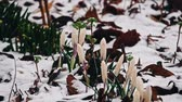 contrastes : Falling snow over crocus flowers in early spring Stock Footage