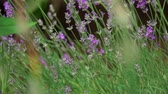 couve : lavender flowers, Lavandula angustifolia,with a Large White, Pieris brassicae butterfly. Slow motion Vídeos