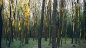 forest : Leafless woods in evening