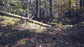 погоня : POV view is a terrible path in the coniferous forest
